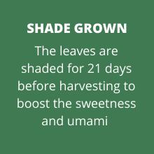 Shaded green tea leaf