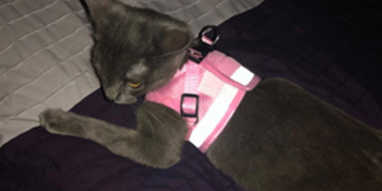 pink kitten harnesses