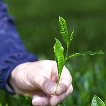 Shade Grown Leaf