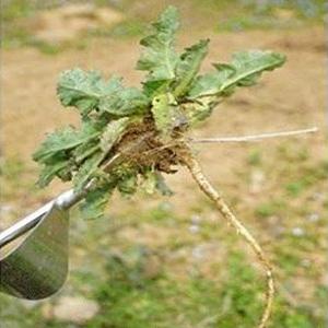 Slender Root System