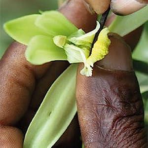Vanilla Pod Pollination