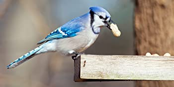 Blue Jay eating Wakefield Virginia Peanuts, ASIN B07815BS4N, which are healthy for the birds.