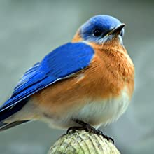 Bluebirds put their nests in natural cavities or in nest boxes such as a Wakefield Birdhouse