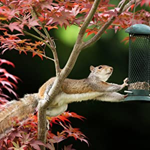 Squirrel reaching for bird feeder to eat the seeds