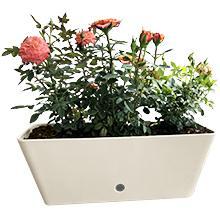 Rectangular Trough, Roses