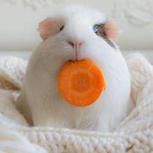 bedding guinea pig