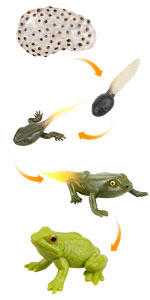 Frog cycle toys