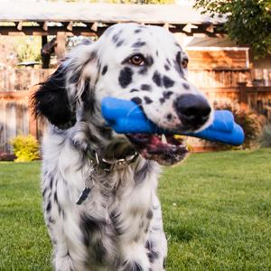 Dalmatian with blue bone in yard