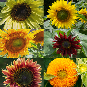 The six different sunflowers of our set in one picture, shown in full bloom.