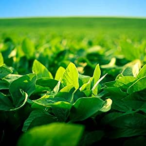 Soybean plants growing in a field. Ardent Flame Candles are made with pure soy wax.