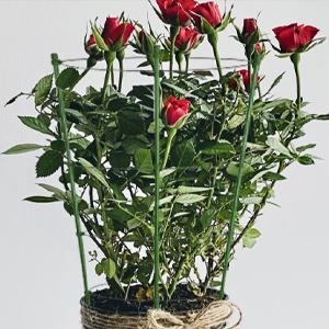 flower stake for rose