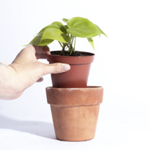 lemon lime pothos in grow pot being removed from terracotta pot to be watered