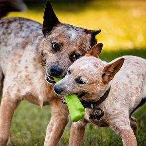 two dogs playing with green bone