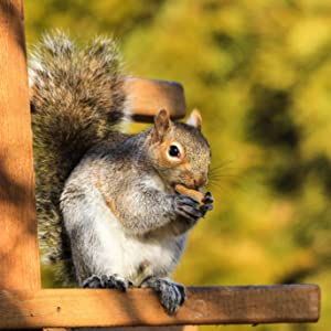 Squirrel on Nutty Bar eating a Wakefield Virginia Peanut, ASIN B07815BS4N here on Amazon.