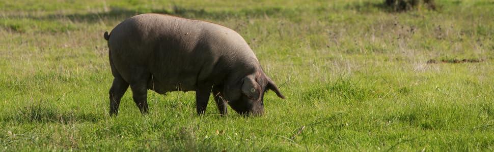Marcos Salamanca Iberico Pig