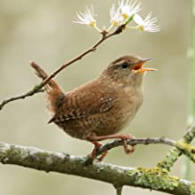 Wren Singing on a Tree Branch before making a nest in a Wakefield Birdhouse