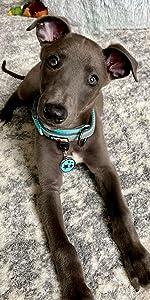 padded Dog collar, dog harness, dog leash, pet harness, puppy collar, reflective dog collar