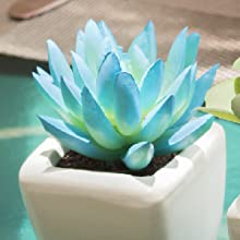 Succulent plant in blue and green colour showing a close up shot. Background is blue to emphasize