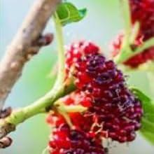 Wild Mulberry Complex