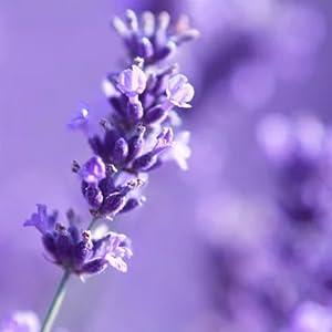 lavender, lavender oil, lavender essential oil, essential oil, shower steamer, gifts for women