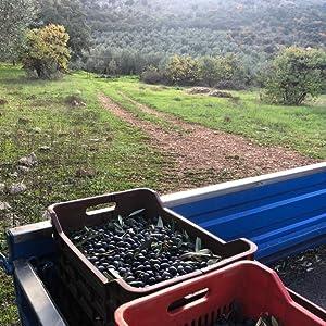 Olive Bushel In The Fields