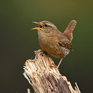 House Wrens are commonly attracted to swaying birdhouses.