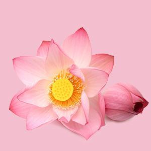 Nelumbo Nucifera (Sacred Lotus) Seed extract