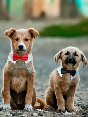 pet bow ties