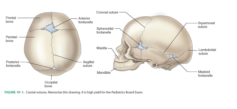 Großzügig Anatomie Des Mastoidknochen Galerie - Anatomie Ideen ...