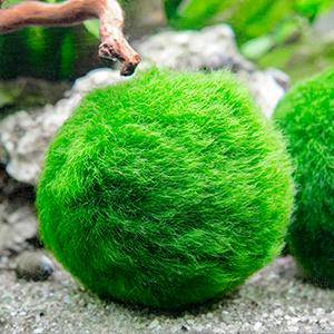 Amazon.com: 6 Marimo Moss Ball Variety Pack - 4 Different Sizes of Premium Quality Marimo from
