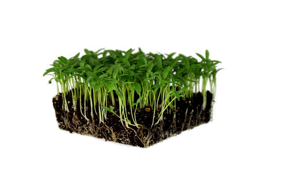 cilantro slow bolt microgreen , easy to grow, mountain valley seed, truelef market.