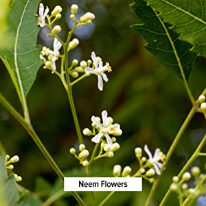 Banyan Botanicals neem flowers