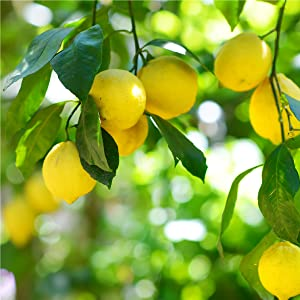 Lemon scent