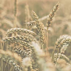 Organic Durum Wheat