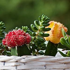 wonder-soil-cactus-succulent-planter