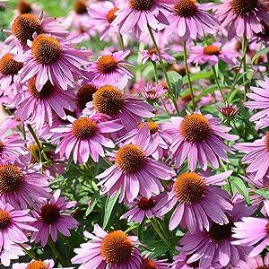 Coneflower herb seed