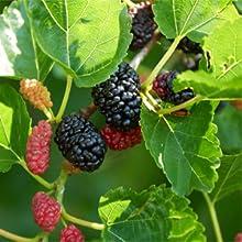 mulberry, glutathione mulberry, multivitamin capsule, sport nutrient, sport supplement capsules