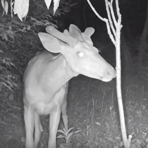 Scent Post, Licking Stick, Buck Rub, Buck Branch, Deer Attractant, Rut, Doe Pee, Scent Glands,