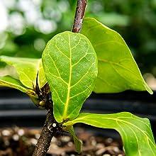 best working fiddle leaf fig fertilizer liquid plant foods for indoor ficuses