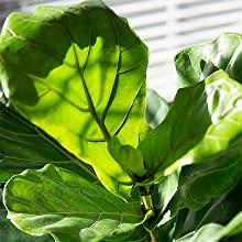 Fiddle leaf fig liquid fertilizer live plant food ornamental indoor house ficus