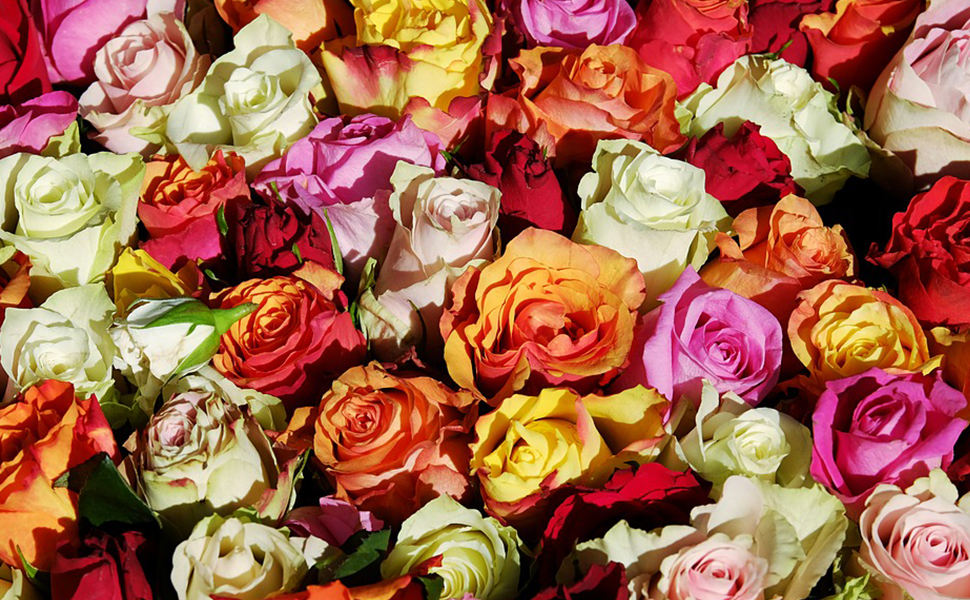 The flower language of roses is that I love you.