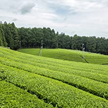 Matcha farms