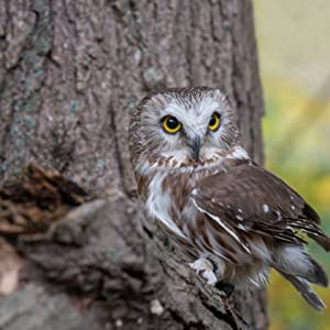 Owl with large eyes staring at the reader. On a tree branch looking for food and prey.
