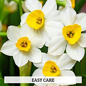 easy to grow paperwhites
