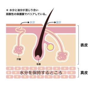 皮膚組織画像