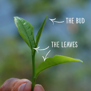 the bud and the leaves