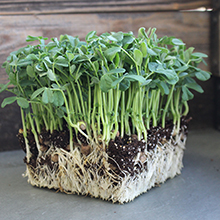 rye microgreens growing without plastic growing tray