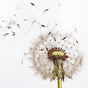 Natural dandelion root
