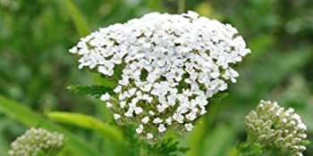white yarrow seeds for planting outdoors yarrow herb seed