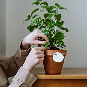 Person planting mint